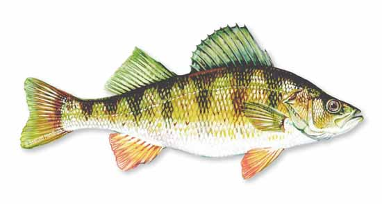2Perch_Yellow_sfdhdbk