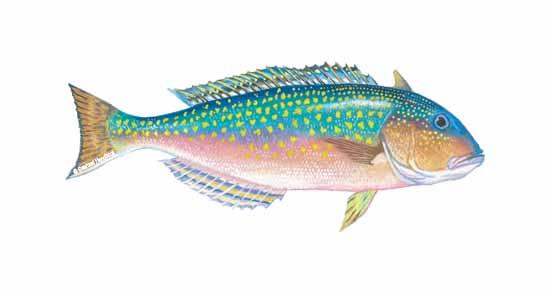 2tilefish_sfdhdbk_142a