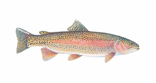 2trout_rnbw_sfdhdbk_144a