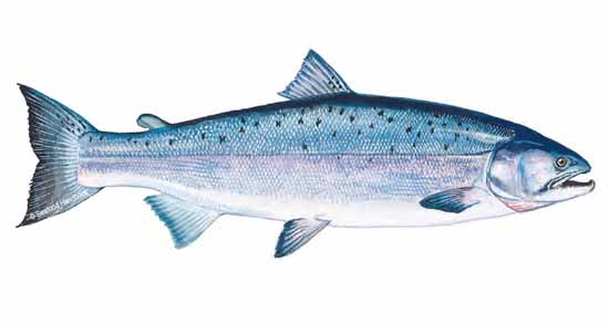 salmon_coho_sfdhdbk_120a