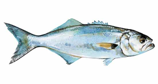 bluefish_sfdhdbk_046a(6)